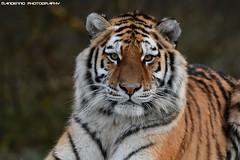 Siberian Tiger - Safaripark Beekse Bergen (Mandenno photography) Tags: animal animals siberian tiger tijger tigers tijgers zoo safari safaripark bigcat big cat beekse bergen ngc nederland netherlands nature
