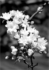 Sherwood Gardens ~ Crabapple blossoms (karma (Karen)) Tags: baltimore maryland sherwoodgardens flowers blossoms crabapple mono bw dof bokeh hmbt cmwd