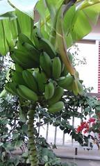 Μπανάνες στον κήπο μου!!   20161011_180027 (amalia_mar) Tags: banana bananas bananatree green fruits weeklythemes