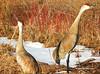 Sandhill Cranes (JamesEyeViewPhotography) Tags: sandhill cranes birds spring trees snow northernmichigan nature michigan sleepingbeardunesnationallakeshore jameseyeviewphotography