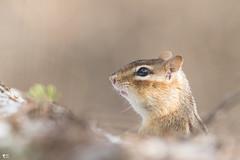 ''L'immencité dans son oeil!'' Tamia rayé (pascaleforest) Tags: animal mammifère nature spring printemps passion nikon wild faune wildlife e