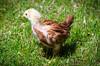 Baby Chickens-19 (sammycj2a) Tags: chick chickens backyardfarm farm chicks pullets straightrun backyard nikon nikkor lightroom