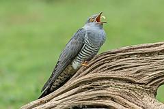 Cuckoo (drbut) Tags: cuckoo cuculuscanorus hedges trees colin surrey bird birds avian nature wildlife canonef500f4lisusm