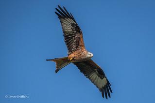 Red Kite D85_0781.jpg