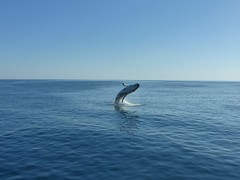 Breaching humpback whale in Hervey Bay, Australia (JAMADELILA) Tags: buckelwal wal nature marinelife australia humpbackwhale jumpingwhale breaching whale