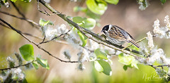 REED BUNTING 1 (Nigel Bewley) Tags: reedbunting emberizaschoeniclus bird birds avian london barnes uk londonwetlandcentre wwt wildfowlwetlandstrust wildlife birdlife nature naturalhistory greatoutdoors wildlifephotography ukwildlifenature birdwatcher unlimitedphotos may may2018 nigelbewley photologo spring blossom springwatch appicoftheweek