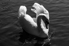 Edinburgh Ponds April 2018 (204 of 228) (Philip Gillespie) Tags: lochend park pond st margaret loch water wet birds swans seagulls pigeons drips drops sky cloud sun sunshine trees bushes leaves branches kite mono monochrome black white colour color green blue yellow red orange flowers door waves ripples reflections grass hill arthur seat low level close up landscape waterscape eyes beaks feathers people man girl ruin chapel church silhouette contra lumiere bench clouds flood rocks roof wire barbed goose splash reeds nature natural forest wood
