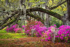 Charleston South Carolina Spring Flowers Lowcountry Landscape Photography (Dave Allen Photography) Tags: charleston southcarolina sc azaleas spring flowers oak trees lowcountry springflowers magnolia south azaleaflowers carolina plantation liveoaks spanishmoss scenic outdoors nature outdoorphotographer