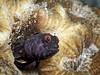 Sailfin Blenny poking its head out... #blenny #sailfinblenny #scuba #diving #sport #active #awesome #underwater #LSD #SimplyBeautiful #StLucia #London #LSDscuba #scubapro #nauticam #cool #ocean #boat #underwater #dive #divesaintlucia #londonschoolofdiving (lsdscuba) Tags: ifttt instagram scuba lsd