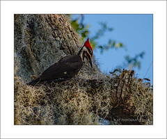 Woody (prendergasttony) Tags: bird woodpecker nikon d7200 america florida dryocopuspileatus avian tree nest wildlife nature vacation pileated red head tonyprendergast moss
