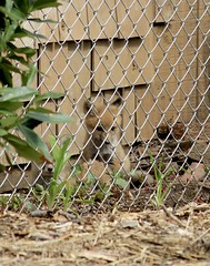 baby fox (garden beth) Tags: foxes redfoxes