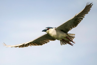 Black-Crowned Night-Heron Flight