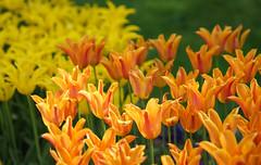 orange is the new yellow (Uncle Tee TX) Tags: sofia bulgaria tulip sony a7ii fe9028 macrog