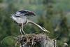 The big stretch (PamsWildImages) Tags: bc bird britishcolumbia nature naturephotographer wildlife wildlifephotographer pamswildimages pammullins greatblueheron canada canon