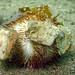 Temnopleurus alexandri urchin