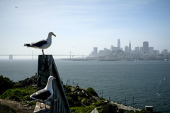 Skyline with Gulls (San Francisco Gal) Tags: westerngull gull sanfrancisco financial districtskyscraperbay bridgesan francisco bay water alcatraz bird bridge coth5