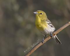 Yellow-throated Vireo (Bill McDonald 2016) Tags: vireo avian perch wwwtekfxca perched yellowthroated yellow canon billmcdonald grefellweeblycom 2018 may spring ontario milton