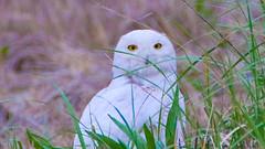 Snowy Owl - Duxbury - 5-18-18-10 (McDonaldMorgans) Tags: duxburybeach gurnetroad snowyowl willet commoneider mourningdove