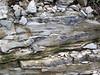 Delaware Limestone (Middle Devonian; Emerald Parkway roadcut, Dublin, Ohio, USA) 5 (James St. John) Tags: delaware limestone devonian emerald parkway dublin ohio roadcut chert nodule nodules