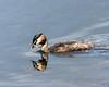 Great Crested Grebe Silverdale RSPB F00218 D210bob  DSC_1252 (D210bob) Tags: f00218 d210bob dsc1252 greatcrestedgrebe silverdalerspb nikond7200 lancashire birdphotography birdphotos leightonmoss naturephotography naturephotos nikon nikon200500f56 rspb wildlifephotography