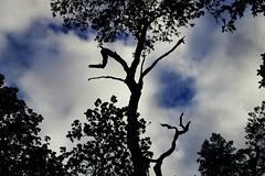 reaching the sky (Jos Mecklenfeld) Tags: nature natur natuur forest wald bos spring frühling lente sonya6000 sonyilce6000 minoltamdzoom2870mmf3545 minoltamd minolta westerwolde tree baum boom clouds wolken fujiprovia400x terapel groningen netherlands nl