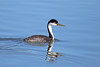 #238 Western Grebe (Jan Nagalski) Tags: bird grebe westerngrebe nature wildlife blue blackandwhite black white lake water sloanslake denver colorado reflection spring jannagalski jannagal red redeye lifebird lifebirdphotograph 238