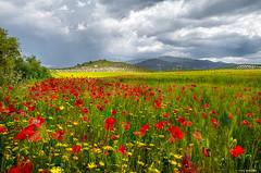Amapolas (Francisco José López) Tags: franciscojoselopezmorante pentaxk1 primavera amapolas paisaje naturaleza flores