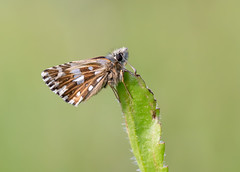 Grizzled Skipper (chaz jackson) Tags: grizzledskipper pyrgusmalvae hesperidae skipper insect butterfly macro grizzled