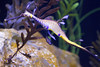 Sea Dragon (San Diego Shooter) Tags: seadragon macro bokeh sandiego lajolla birchaquarium