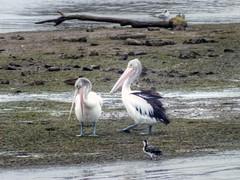 Australian pelican - Pelecanus conspicillatus (AdamsWife) Tags: pelecanusconspicillatus pelican australianbird australianpelican australia tasmania derwentriver bird birds river water