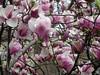 Union Square Magnolias II (edenpictures) Tags: magnolia unionsquarepark newyorkcity nyc manhattan spring flowers