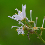Tiny wildflower and Mosquito thumbnail