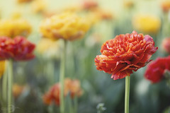 Tulips | Tulpen (*Photofreaks*) Tags: tulips tulpen flowers blumenblossoms blüten colours farben colourful bunt gruga grugapark essen deutschland germany nrw nordrheinwestfalen northrhinewestphalia spring frühling adengs wwwphotofreakseu