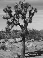 Joshua Tree (MJRodock) Tags: yucca olympusmzuikoed1240mmf28pro em5markii olympus arizona joshuatree