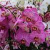 Keukenhof 2018 (timothyhart) Tags: keuhenhof 2018 lisse netherlands holland dutch crocus tuplip hyacinth bloom bloemen flower promise gardens park parkland colour colourful beauty outdoors leisure pleasure spring