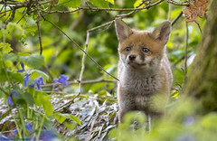 Fox Cub....Country Fox (Anthony Thomsett) Tags: fox cub mammal nikon d500 sigma 500mm f4