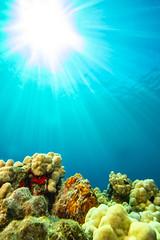 frogfish3Mar29-18 (divindk) Tags: antennariuscommerson camouflage commersonsfrogfish hawaii hawaiianislands malaramp maui places underwater color diverdoug frogfish marine ocean reef sea sunrays sunburst underwaterphotography