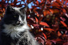 Pia sitting on the fence (Rachela B) Tags: bokeh cats photinia light whiskers