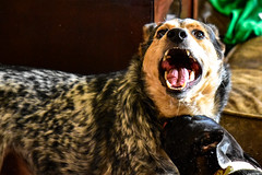 Jasper and Squiggy (thatSandygirl) Tags: dogs animals pets wrestling playing biting cattledog austraiiancattledog indoors