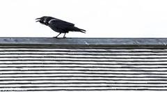 Poe (Ronda Hamm) Tags: california wildlife nature bird pointreyesnationalseashore canon7dii blackandwhite canon 100400mkii raven animal
