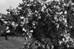 Gorse (Jonathan Carr) Tags: gorse black white bw monochrome 6x9 rural northeast mediumformat