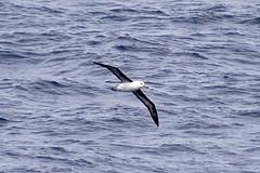 Black-Browed Albatross at Sea in Antarctica (trphotoguy) Tags: bird antarctica theblackbrowedalbatross thalassarchemelanophris blackbrowedmollymawk
