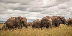 Elephants at the Mara (Markus Jaschke) Tags: afrika kenia mara masai narokcounty ke