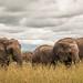 Elephants at the Mara