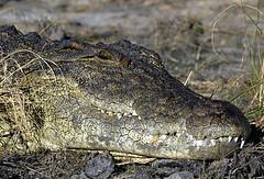 0055 BOTSWANA 2009-Giugno 29-Kasane-Chobe Safari Lodge-Gita sul Chobe-Coccodrillo-particolare (tomorme) Tags: animali botswana rettile fiume
