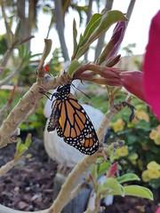 Monarch (FlutterStuff) Tags: butterflies butterfly monarch caterpillars caterpillar chrysalis nature insects flowers