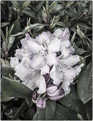 Purple Fringe (NoJuan) Tags: silverefexpro rhododendron rhododendronparkkenmorewa sonya7withmanualfocuslens sonya7ii sigma 28mm flower mirrorless blooms