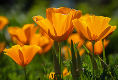 """""""California Gold""""  California Poppies (Cathy Lorraine) Tags: flowers springtime california poppies outdoors nature sunlight ngc coth5 npc"""