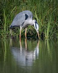 Heron reflection (dickiebirdie68) Tags: heron bird nature wildlife feathers water lake reflection suffolk swt lackfordlakes