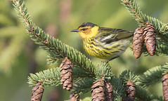 Cape may Warbler (sspike@rogers.com) Tags: warbler capemay steverossi wildlife photography ontario tree green pine avian canon migration